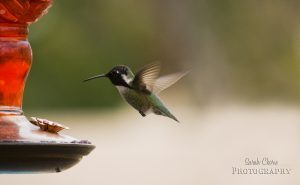 hummingbirdeating