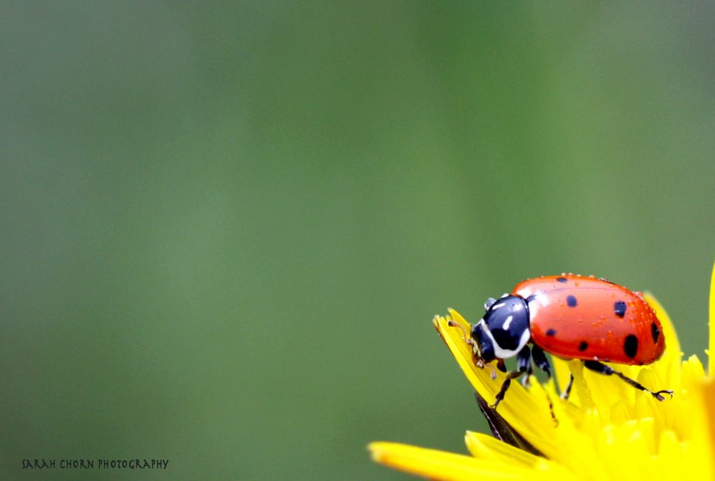 ladybuglogo
